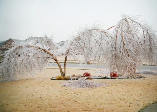 Icy_trees_day2_lr